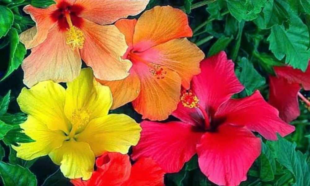 Colores de la Cayena