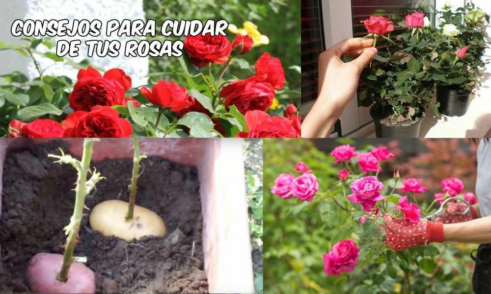 Cuidados de las Rosas