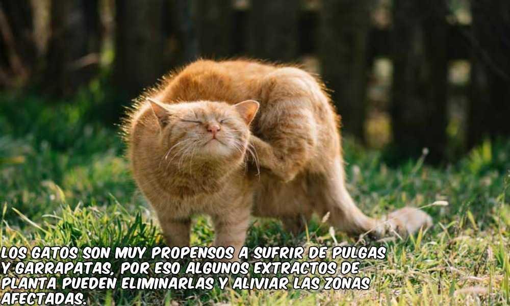 plantas pulgas gatos