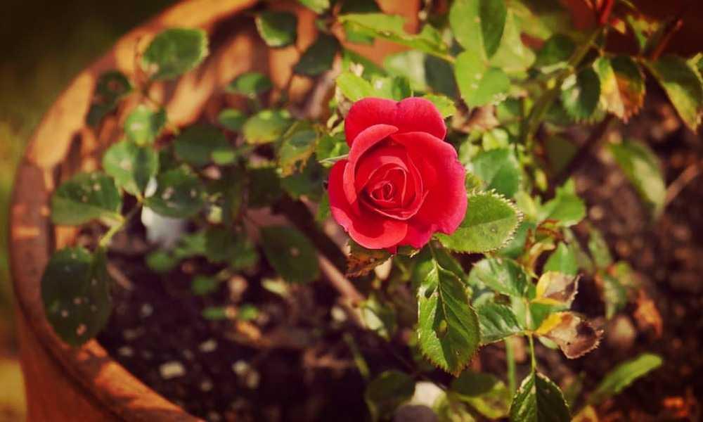 Rosas en Maceta