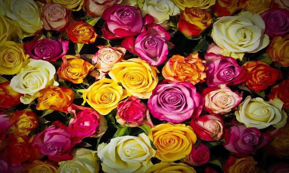 Rosas y Variedad