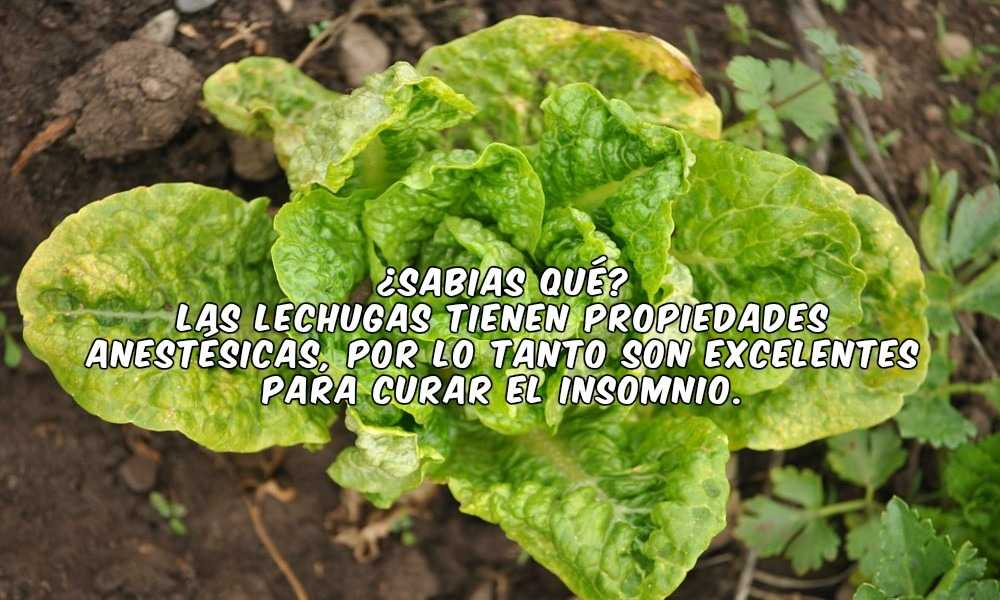 Las Lechugas