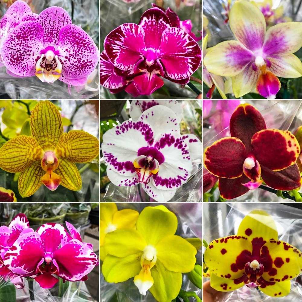 tipos y colores Flor orquídeas