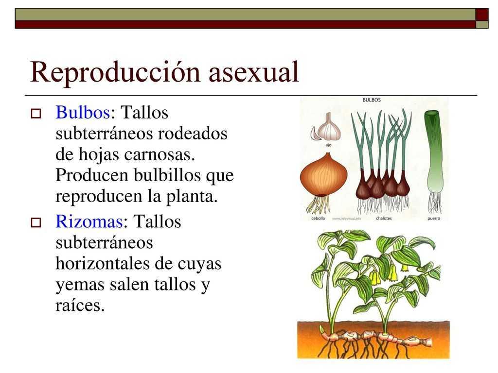 planta bulbo