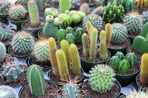 cactus en jardin