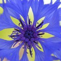 Flor de aciano azul