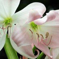 amarilis flor