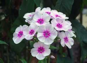 Panaculata blanca