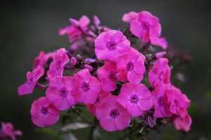 Panaculata rosada