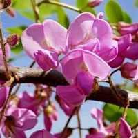 Flor de Acacia dealbata