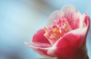 carmelia rosa