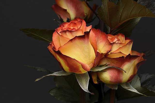 rosa original