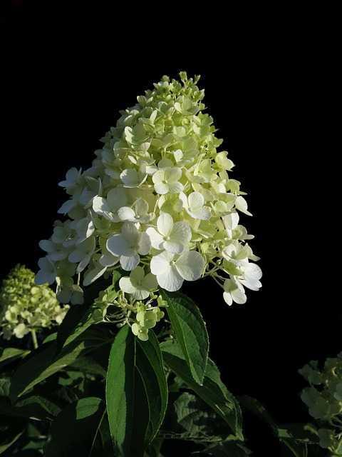 flor de paniculata