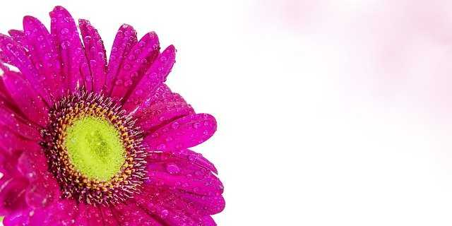 jardin crisantemo