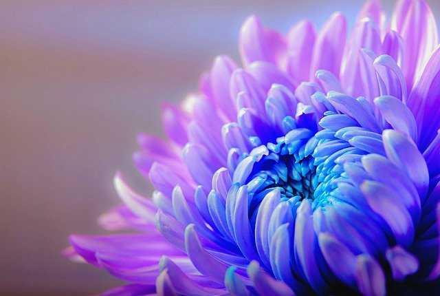 crisantemo azul