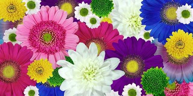 colores de crisantemo