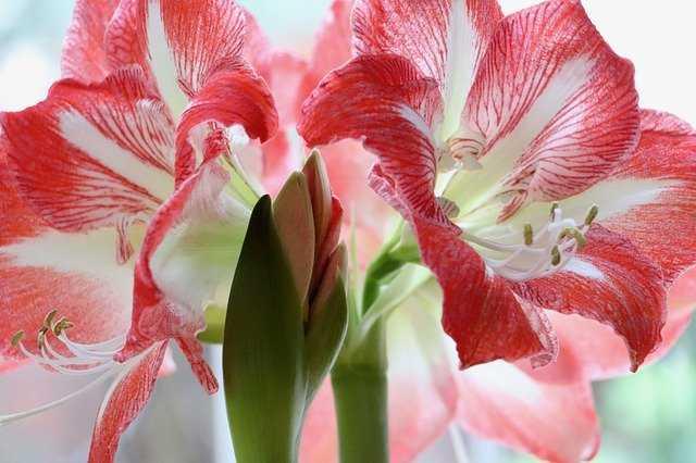 amarilis flor colores