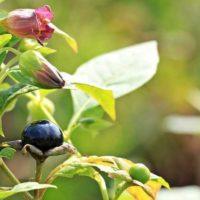 belladona planta