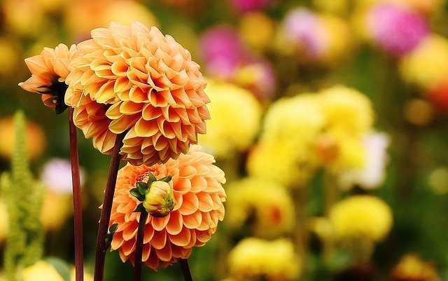 dalia flores