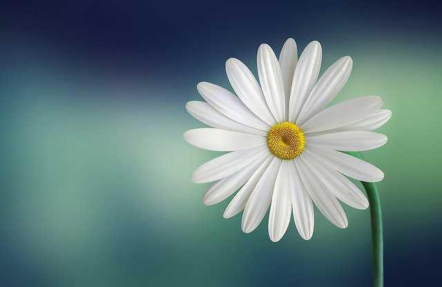 flor margaritas