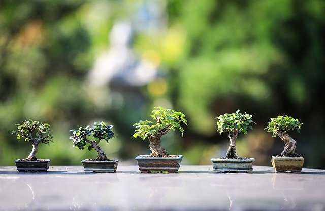 tamaños de bonsai