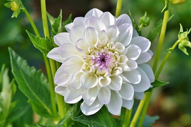 dalia flor cuidados