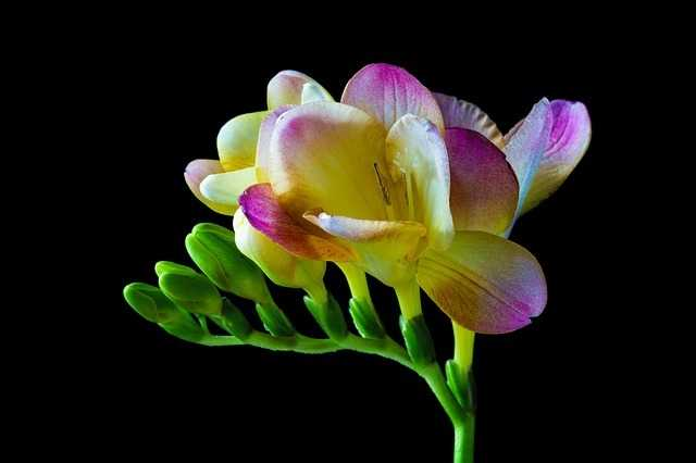 flor de fresia