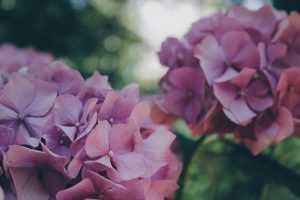 hortensia morada