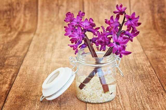planta jacinto