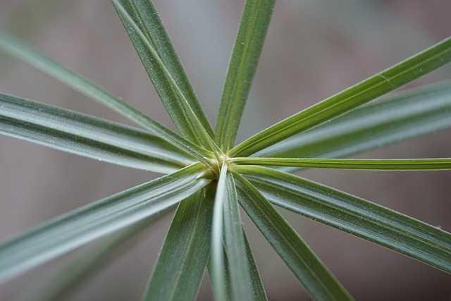 Papiro planta